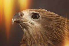 Closeup hawk Royalty Free Stock Photography