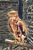 Closeup of a hawk Stock Photos