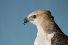 Closeup hawk upper body Stock Image