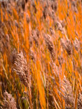 Closeup Hay in Field Royalty Free Stock Photo