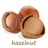 Closeup of hazelnuts, isolated on the white background. Illustration collection Stock Image