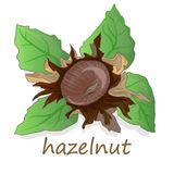 Closeup of hazelnuts, isolated on the white background. Illustration collection Stock Photos