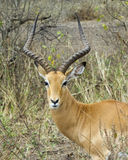Closeup head with antlers of an impala standing in grass with heads raised Stock Photography
