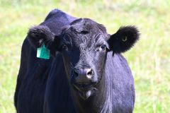 Closeup of the head of a black cow with ear tag.  royalty free stock images