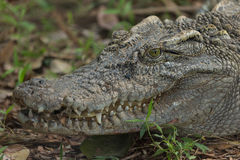 Closeup head Caiman crocodile. On the land stock photo
