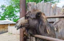 Closeup of the head of a camel in the zoo. Stock Photo