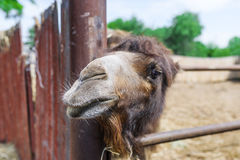 Closeup of the head of a camel in the zoo. Royalty Free Stock Photo
