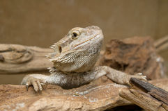 Closeup of head of Central Bearded Dragon Royalty Free Stock Images