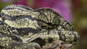 Closeup of head of chameleon. Where the eyes and brain are seen cornea stock video footage