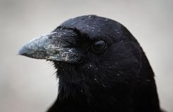 Northwestern Crow Closeup. A closeup of the head of Corvus caurinus, the Northwestern Crow Stock Images