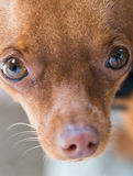 Closeup head of cute miniature ginger pinscher dog Royalty Free Stock Images