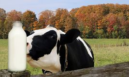 Black and white cow smelling bottle of milk in the field on a fall day. Closeup of head and face of Holstein Cow sniffing a glass bottle full of milk stock photo