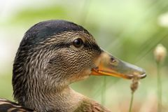 Closeup on head of a female mallard Stock Images