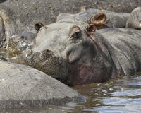 Closeup of the head of a hippo in a watering hole partially submerged. Hippo in a watering hole partially submerged in the Ngorongoro Conservation Area, Tanzania Stock Image