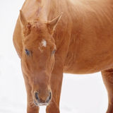 Closeup of the head of a horse with white background Royalty Free Stock Photography