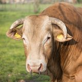 Closeup of head of large blonde d`aqiuitiaine bull stock photography