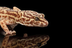 Closeup Head of Leopard Gecko Eublepharis macularius Isolated on Black Stock Image