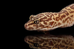 Closeup Head of Leopard Gecko Eublepharis macularius Isolated on Black Stock Photos