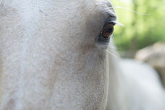 Closeup of head and one eye of white horse Royalty Free Stock Image