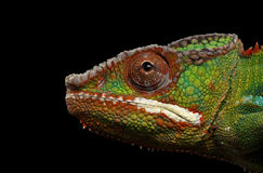 Closeup Head Panther Chameleon, reptile in Profile view Isolated Black Stock Photography
