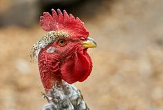 Head of a rooster. Closeup of the head of a rooster with selective focus Stock Photos