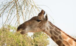 Closeup head shot giraffe  on nature background Stock Photography