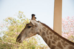 Closeup head shot giraffe  on nature background Royalty Free Stock Images