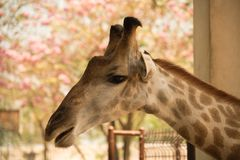 Closeup head shot giraffe  on nature background Royalty Free Stock Photo