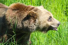 Closeup head shot of large grizzly bear walking through tall gra. Ss Stock Image