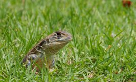 Closeup head shot of Oriental garden lizard Stock Photo