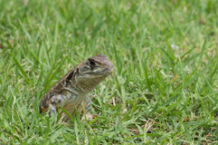 Closeup head shot of Oriental garden lizard Stock Photos
