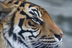 Closeup head side view of Sumatran Tiger. With detailed features and fur Royalty Free Stock Photography