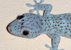 Close up Head of Tokay Gecko is on The Wall stock photo