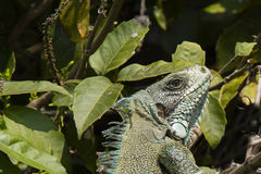 Closeup Head of Turquoise Ornate Green Iguana Iguana Stock Photography
