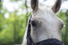 Closeup of head of white horse with part of harness visible Stock Images