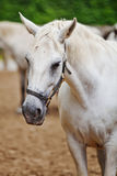 Closeup of a head of the white lipizzan horse Stock Photo