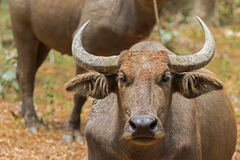 Closeup headshot of brown domestic Asian Water Buffalo in Thaila. Closeup headshot of brown domestic Asian Water Buffalo standing in the afternoon sun in Stock Image