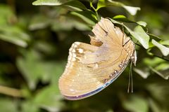 Closeup healthy and beautiful brown butterfly resting under leaf. At bright day royalty free stock images