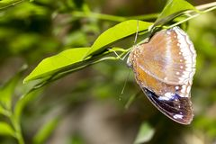 Closeup healthy and beautiful brown butterfly resting under leaf. At bright day royalty free stock photo