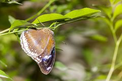Closeup healthy and beautiful brown butterfly resting under leaf.  royalty free stock photo