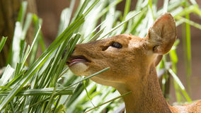 Closeup of a healthy deer eating Royalty Free Stock Image
