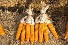 Closeup heap of dried corn at farm background