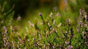 Closeup of heather shrub stock video footage
