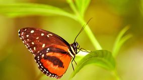 Closeup of Hecale Longwing butterfly in aviary Stock Photography