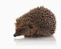 Closeup of hedgehog Stock Photography