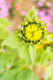 Helianthus annuus bud Stock Photos