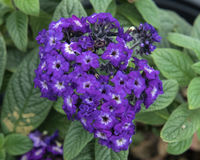 Closeup Heliotropium Helios Blue. Pictured is a closeup view of a cluster of Heliotropium Helios Blue flowers. It is a garden heliotrope, a highly fragrant royalty free stock image