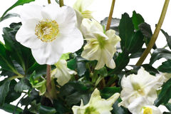 Closeup of hellebore flowers and leaves Stock Image