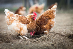 Closeup of a hen in a farmyard Stock Photo