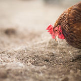 Closeup of a hen in a farmyard. (Gallus gallus domesticus Royalty Free Stock Images